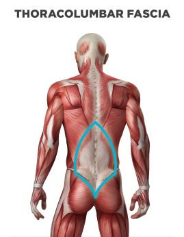 thoracolumbar-fascia-back-pain-highlighted-01